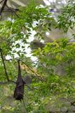 Owocowego nietoperza obwieszenie od drzewa z zielenią opuszcza na tle zdjęcie royalty free