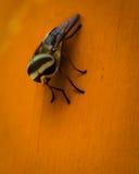 Owocowej komarnicy zakończenie w górę widoku Obraz Royalty Free