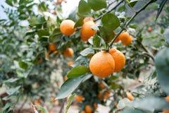 Owocowi drzewa, ogródy, pomarańczowy drzewo obrazy royalty free