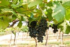 owocowi gronowi drzewni winnicy Zdjęcie Stock