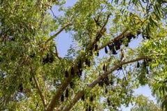 owocowi nietoperze, litchfield park narodowy, terytoria północne, Australia zdjęcia stock