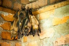 Owocowi nietoperze, Madagascar afrykanina wyspa Obraz Royalty Free