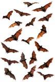 Owocowi nietoperze złożeni (latający lisy) ilustracji