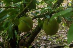 Owocowi wielcy kolor barkentyny i zieleni kopyto_szewski używać wykonywać ręcznie obrazy stock