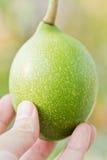owocowy cerbera odollam Obrazy Stock