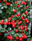 owocowy czerwony dziki Zdjęcia Royalty Free