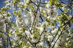 Owocowy drzewo tysiące biały mały kwiatu ukwiecenie który kwitnie w wiośnie gałąź bloi trwa dla few tygodnie Fotografia Royalty Free