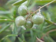 owocowy dziki Zdjęcia Stock