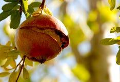 owocowy granatowiec Zdjęcia Stock
