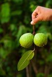 owocowy guava Zdjęcia Royalty Free