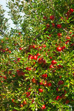 owocowy jabłko Obraz Stock