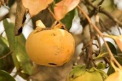 Owocowy kaki Obraz Stock