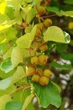 owocowy kiwi Zdjęcia Stock
