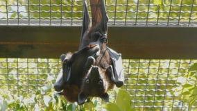 Owocowy nietoperz z dzieckiem naciskającym swój ciała wieszać do góry nogami i patrzeć kamerę w zoo zbiory wideo