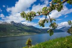 Owocowy okwitnięcie w Hardanger Zdjęcia Royalty Free