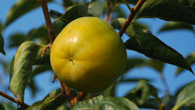 owocowy persimmon Zdjęcie Stock