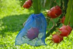 Owocowy smoka drzewo Obraz Stock