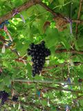 Owocowy winogrono Zdjęcia Stock