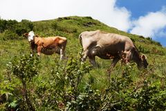 Сows.anymals. Alpine cow in the mountains eating a juicy green grass Royalty Free Stock Photography