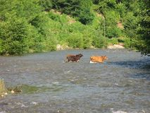 ows crossing river countryside farmer royalty free stock photography
