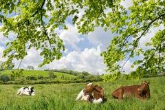 Ows del ¡de Ð en un prado Imagenes de archivo