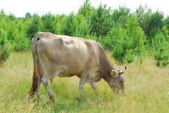 Сows graze in the meadow. Stock Photo