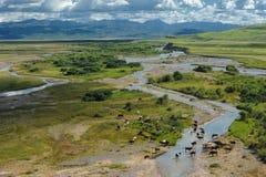 Сows grazing near river. Cows graze in a mountain valley near the river. Cloudy sky Stock Photos