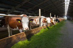 Сows in Stable. Cows eating green cutted grass indoor Royalty Free Stock Photography