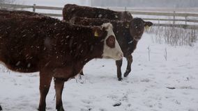 Сows under snow. Several cows of different colors, standing under the snow in a beautiful snow-covered village stock video footage