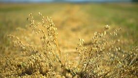 Owsy odpowiadają, zbożowy pole, ucho kukurudza owsy, uprawa sezon, dojrzali owsy, zbożowi owsy, wiejski żniwiarza syndykata upraw zbiory wideo