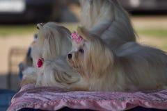 '19,08,2018 owy de Polska KoziegÅ da exposição de cães imagem de stock royalty free