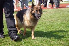 '19,08,2018 owy de Polska KoziegÅ da exposição de cães foto de stock royalty free