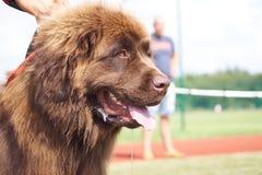 '19,08,2018 owy de Polska KoziegÅ de la exposición canina Imagen de archivo libre de regalías
