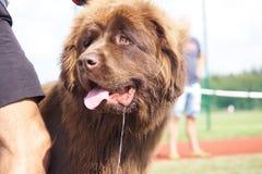 '19,08,2018 owy di Polska KoziegÅ dell'esposizione canina Immagini Stock Libere da Diritti