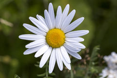 Oxöga Daisy Flower Close Up fotografering för bildbyråer