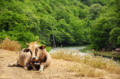 Ox. An ox sitting by the river Royalty Free Stock Photos