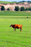 Ox. The ox in the grassland Stock Image