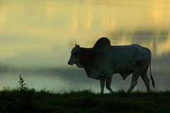 An ox. In sunset stock photo