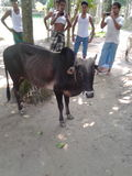 Ox. Bangladeshi ox Royalty Free Stock Photo