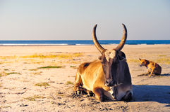 Ox in the beach Stock Image