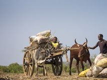 Ox cart loaded with sacks, Zebu cattle stock photo