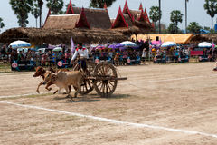 Ox cart racing in Thailand. Stock Image