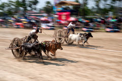 Ox cart racing in Thailand. Royalty Free Stock Photography