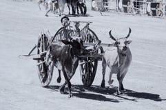 Ox cart racing in Thailand. Stock Photos