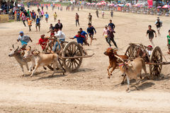 Ox cart racing in Thailand. Stock Photo
