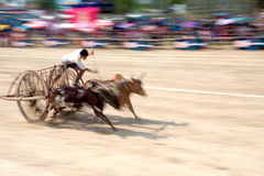 Ox cart racing in Thailand. Royalty Free Stock Images