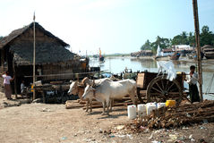 Ox cart at riverside in Kyaikto city,Myanmar. Royalty Free Stock Images