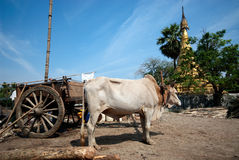 Ox cart at riverside in Kyaikto city,Myanmar. Royalty Free Stock Photography