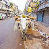 Ox-cart in the streets of Old Delhi Stock Images