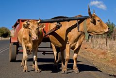 Ox Cart Transport 1. Two happy looking Oxen draw a small cart along the roads of Lesotho Royalty Free Stock Photography